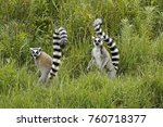 Ring Tailed Lemurs  Lemurs...