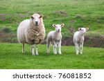 A Sheep And Two Lamb