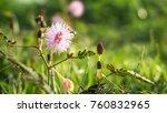 wild mimosa pudica  bunga... | Shutterstock . vector #760832965