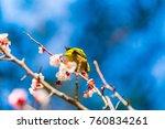 the japanese white eye.the... | Shutterstock . vector #760834261