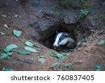 european badger peeping out of... | Shutterstock . vector #760837405