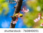 the japanese white eye.the... | Shutterstock . vector #760840051