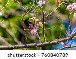 the japanese white eye.the... | Shutterstock . vector #760840789