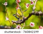 the japanese white eye.the... | Shutterstock . vector #760842199