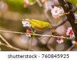 the japanese white eye.the... | Shutterstock . vector #760845925