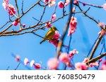 the japanese white eye.the... | Shutterstock . vector #760850479