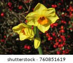 autumnal yellow narcissus | Shutterstock . vector #760851619