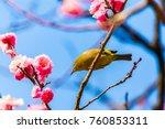the japanese white eye.the... | Shutterstock . vector #760853311