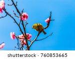 the japanese white eye.the... | Shutterstock . vector #760853665