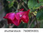 red rose with dew and ring | Shutterstock . vector #760854301