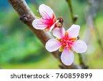 prunus persica   close up fresh ... | Shutterstock . vector #760859899