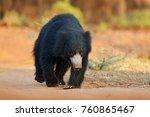 sloth bear  melursus ursinus ...   Shutterstock . vector #760865467
