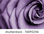 Stock photo close up of violet rose petals 76092256