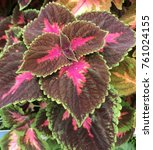 Small photo of Colorful coleus plant