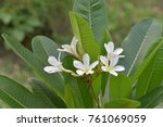 frangipani flowers in my garden | Shutterstock . vector #761069059