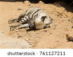 striped hyena rests after night ... | Shutterstock . vector #761127211