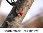 "Small photo of Little red fruit and bark of Japanese winterberry - Ilex serrata. It is called ""Ume modoki"" in Japan."