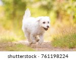 Stock photo beautiful white dog or puppy fun running in summer nature 761198224