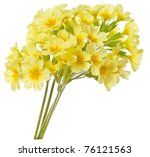 Yellow Primrose Isolated
