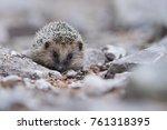 je ek z padn    erinaceus... | Shutterstock . vector #761318395