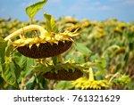 crop large field ripe sunflower ... | Shutterstock . vector #761321629