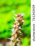 thorn of euphorbia milii ... | Shutterstock . vector #761343439