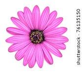 Violet Pink Osteosperumum...