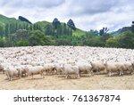Herd Of Sheep  New Zealand
