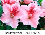 Macro of bright pink azalea blooms. Shallow depth of field. - stock photo