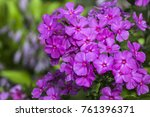 Purple Flame Flowers Of Phlox ...