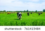 Cows On Vibrant Green Grass In...
