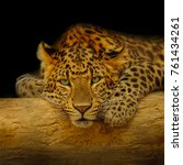 African Leopard Resting At A...
