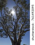 tall eucalyptus  gum tree  ... | Shutterstock . vector #761492095