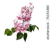 Branch Of Bright Lilac On A...