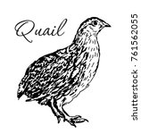 isolated quail bird. engraved... | Shutterstock .eps vector #761562055