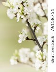Blossoming Twig Of Plum Tree