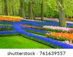 Muscari Flowers In Holland...