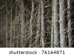 Thick forest of conifers with many dry branches - stock photo