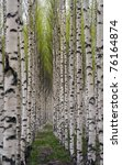 Grove of birch trees with green leaves in spring - stock photo