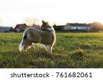 Little Shetland Shepherd
