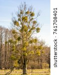 Small photo of Tree is affected by mistletoe