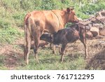 brown cow and calf suckling in... | Shutterstock . vector #761712295
