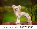 Chinese crested dog walks in...