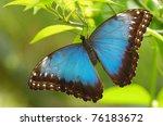Menelaus Blue Morpho ...