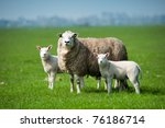 Mother Sheep And Her Lambs In...