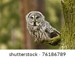 The Great Grey Owl Or Lapland...