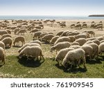 sheep herd at the beach of... | Shutterstock . vector #761909545