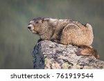 Olympic Marmot Sitting On Rock...