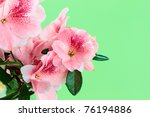 Macro of bright pink azalea blooms against a green background with copy space. Shallow depth of field. - stock photo