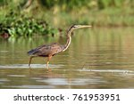 the purple heron  ardea... | Shutterstock . vector #761953951